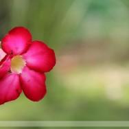 Adenium Flower